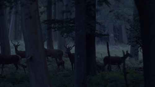 Les cerfs